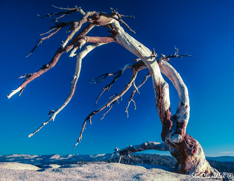 USA - California - Jeffrey Pine at Yosemite (1990)