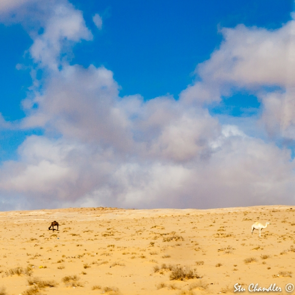 Jordan - Camels in the Desert (2012)